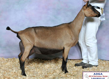 Daughter: GCH Harmody M Savannah Hallelujah